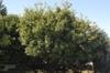 Chionanthus retusus - medium tree full foliage