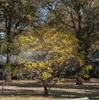 Chionanthus virginicus - yellow fall foliage