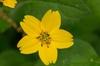 Chrysogonum virginianum var. brevistolon