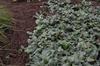 Chrysogonum virginianum Eco Lacquerid Spider fm 091613 MtCuba DE