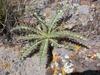 Cirsium canovirens