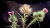 Cirsium vulgare
