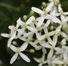 'Woodbine' Flowers - Aug. 20 - Warren Co., NC