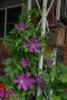 Clematis x Jackmanii - half of plant in  bloom