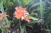 Clivia miniata Regel, flowes and leaves