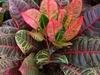 Codiaeum variegatum var. pictum