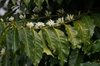 Coffea arabica flowering