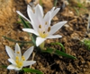 Colchicum cupani Leaves and Flowers