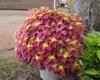 Coleus 'Redhead' Form