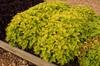 Coleus 'Sun Wasabi' Form