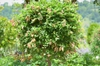 Colutea arborescens