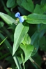 Commelina communis Asiatic Dayflower