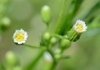 Conyza canadensis flowerhead