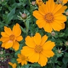 Coreopsis auriculate