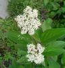 Cornus sericea (C. stolonifera)