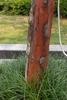 Cornus wilsoniana