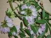 Coronilla varia L. leaves