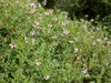 Coronilla varia form thick cover and slopes