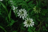 Coronilla varia white flower