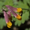 Corydalis sempervirens flower
