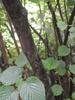 Corylopsis spicata bark