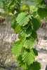 Corylus colurna Leaf