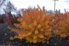 Cotinus coggygria 'Pink Champagne' - fall foliage full plant