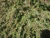 Cotoneaster adpressus