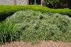 Cotoneaster salicifolius Form