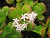 Crassula argentea plant