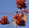 Crataegus phaenopyrum berries