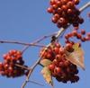 Crataegus phaenopyrum berries