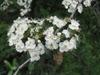 Crataegus crusgalli var. pyricanthifolia - flowers