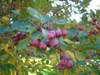 Crataegus crusgalli - fruit