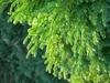 Cryptomeria japonica 'Magic Dragon'