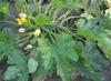 Zucchini Plant Top View