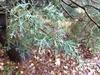 Cupressus arizonica var. glabra 'Silver Smoke'