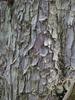 Hesperocyparis arizonica var glabra