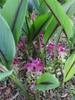 C. aromatica plant in bloom (Wild turmeric)