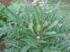 Artichoke plant with flower buds