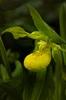 Cyprepedium reginae blossom