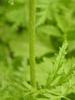 Hairy stem