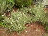 Lavandula stoechas 'Alba' form