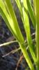 Flat stems