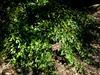 Danae racemosa - JC Raulston Arboretum full plant in summer