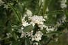 Daphne caucasica flowers
