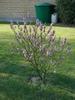 Daphne mezereum-cultivated