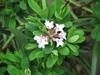 Daphne x burkwoodii foliage