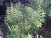 Daphne genkwa foliage