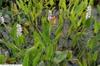 Pontederia cordata alba